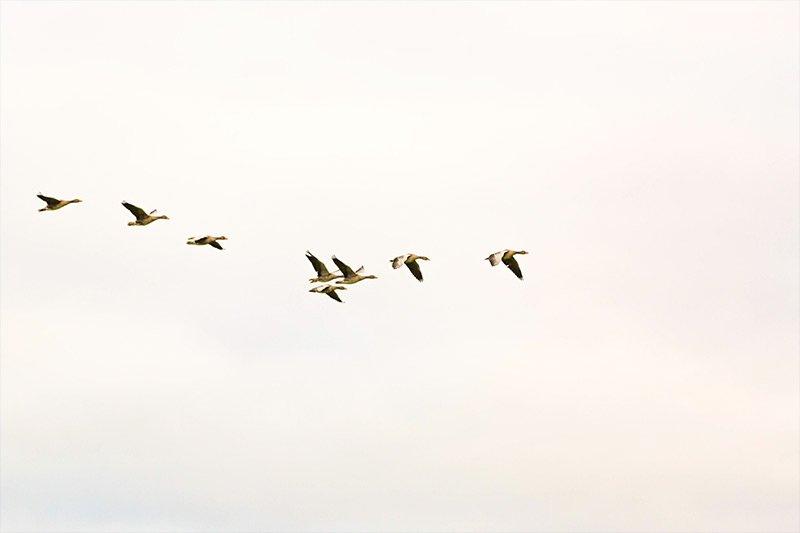 ducks-flying.jpg