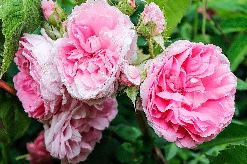 beautiful-pink-roses-maine.jpg