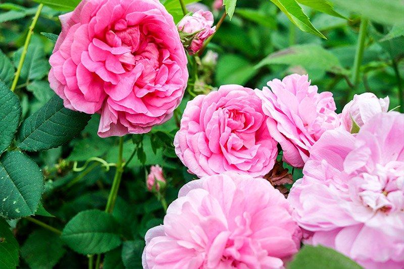 cluster-pink-knockout-roses.jpg