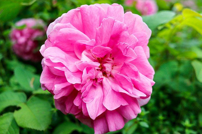 single-pink-rose.jpg